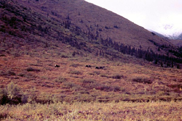 See the caribou? Look hard!